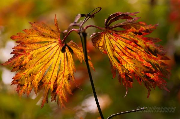 Autumn colour in a Japanese maple
