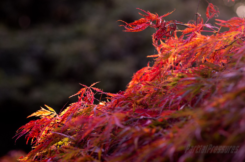 Closeup of cut-leaf Japanese maple foliage