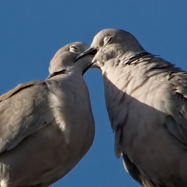"Two collared doves ""pair bonding"" :-)"