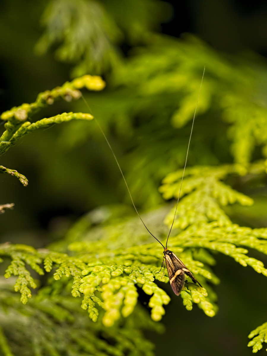 Longhorn Moth