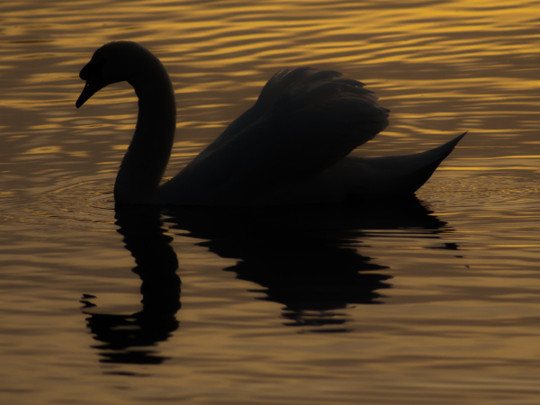 The Swan of Tuonela