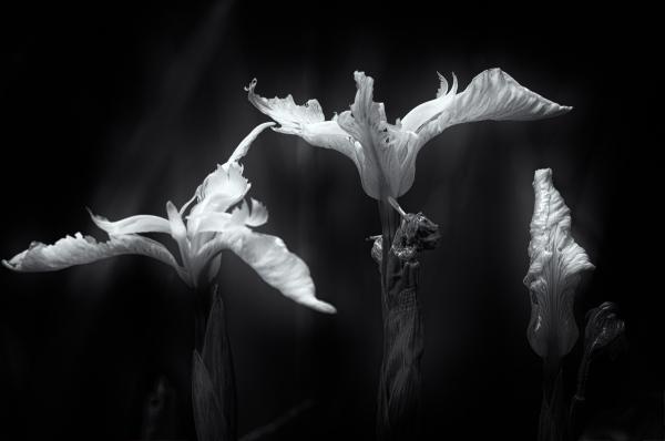 Pond Iris (3)