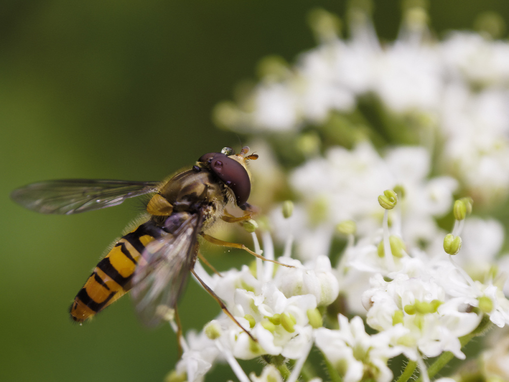 Hoverfly and Hogweed