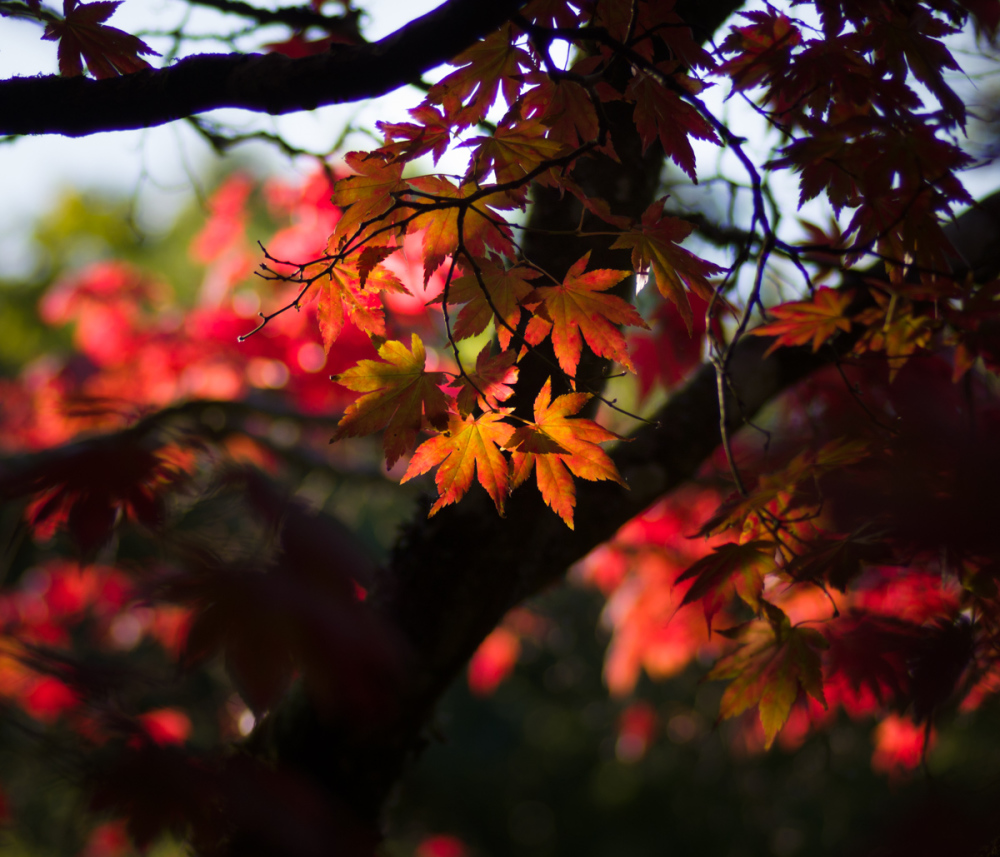 Korean Maple