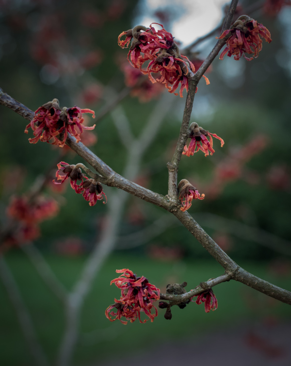 Happy Hamamelis