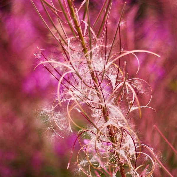 Fire-seeds