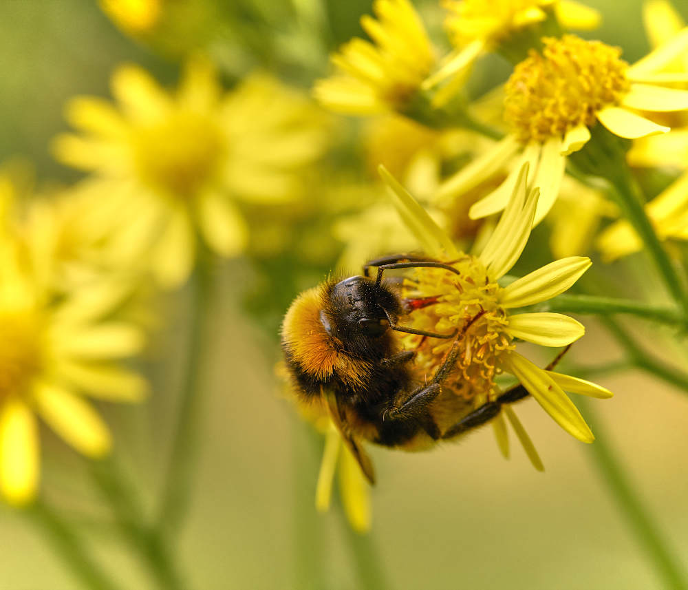 Bumblebee and Ragwort