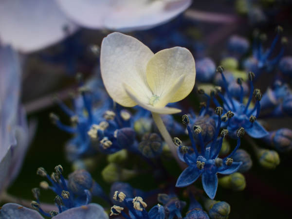 Hydrangea Close Up