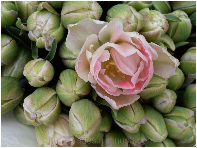 une fleur ouverte au milieu de boutons