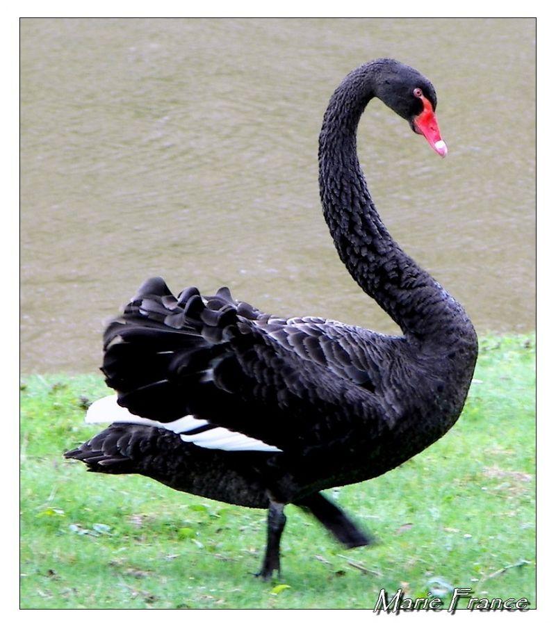 cygne noir