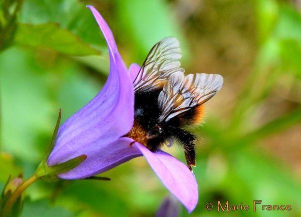 bourdon, insecte, fleur