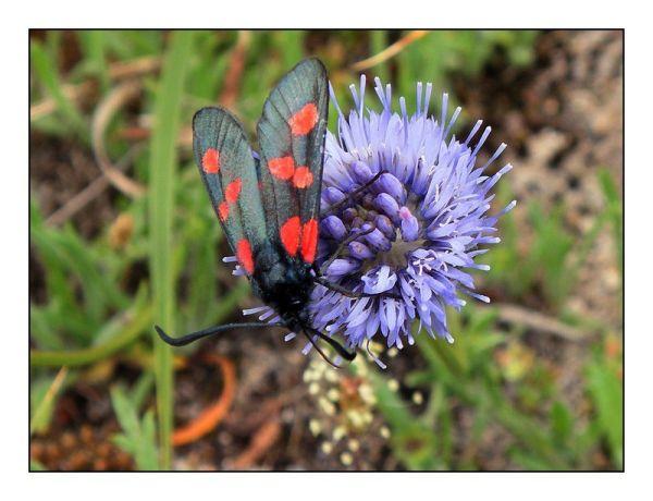 papillon rouge et noir
