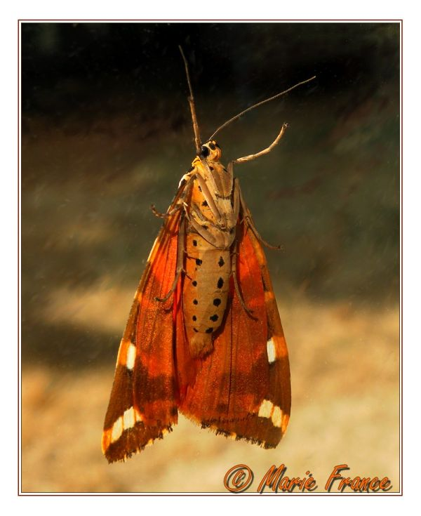 Papillon de nuit vu du dessous