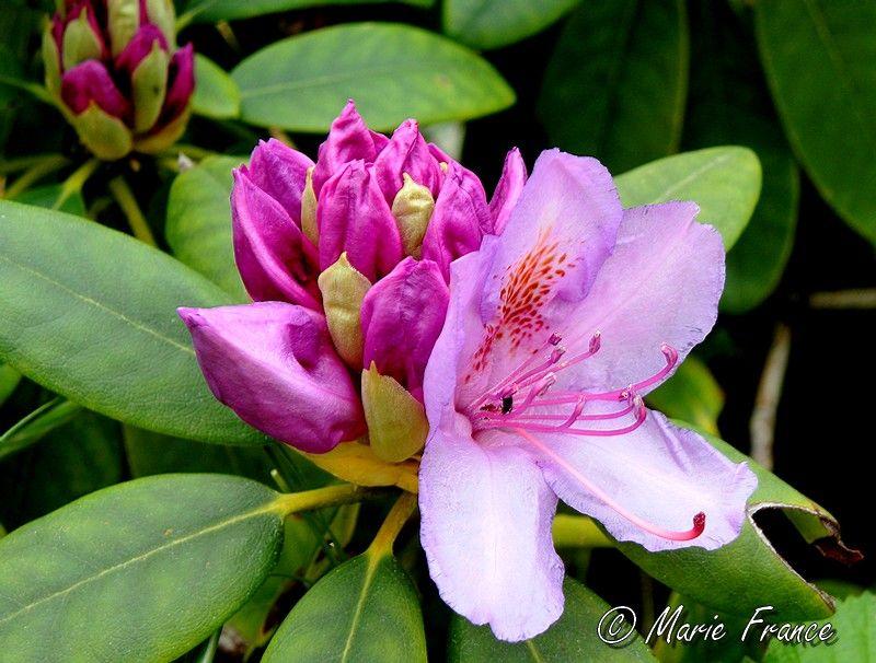 bourgeon de fleur de rhododendron
