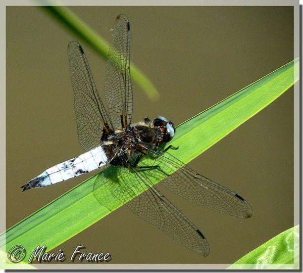 libellule vue macro