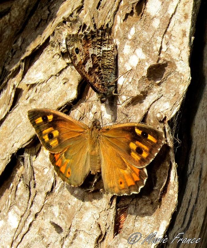 Deux papillons sur un tronc
