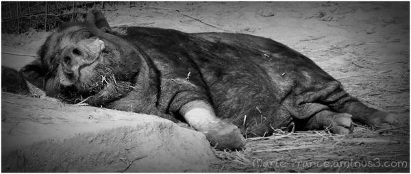Petit cochon noir couché....