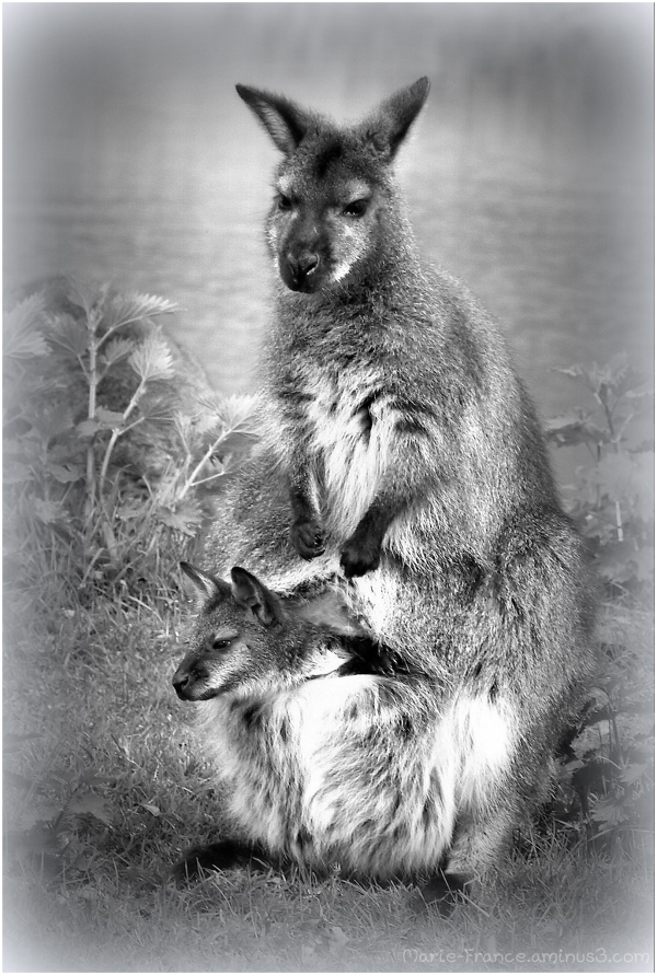Wallaby est son petit
