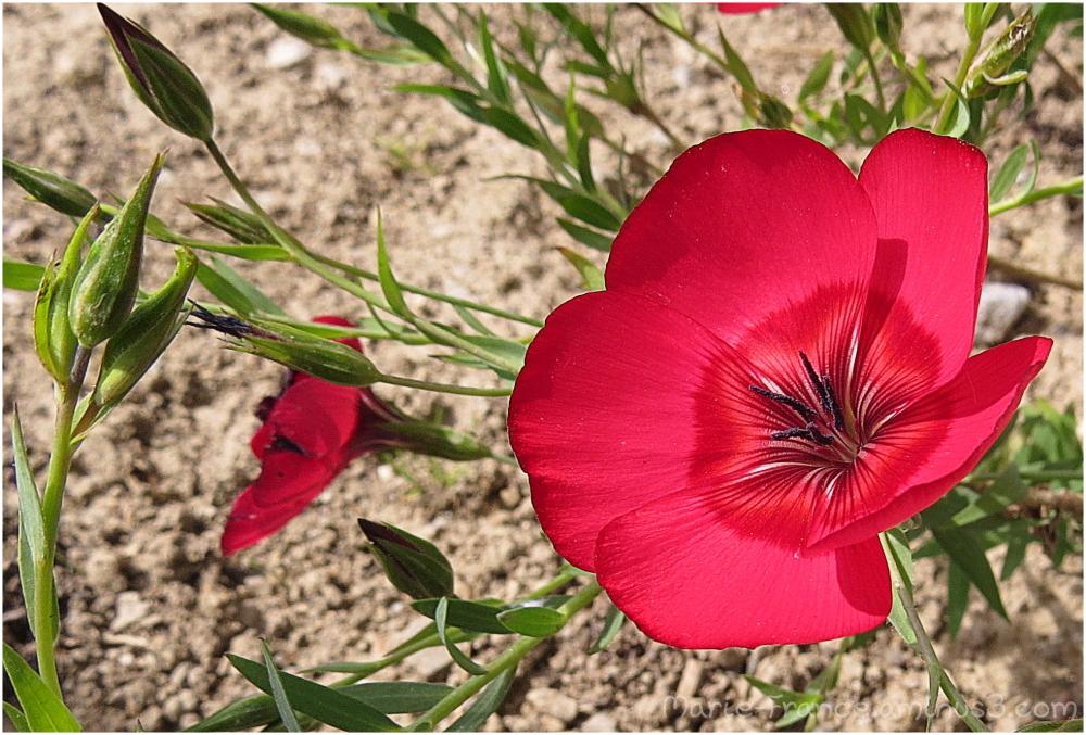Petite fleur rouge
