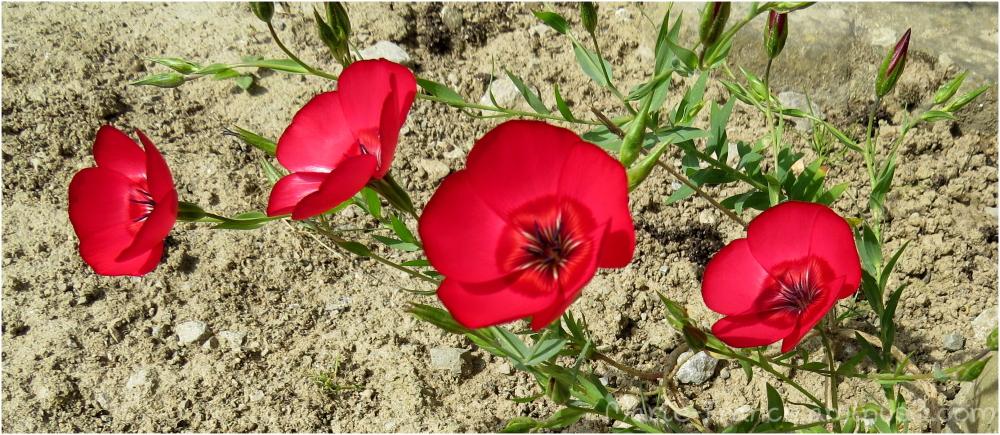 Petites fleurs rouges