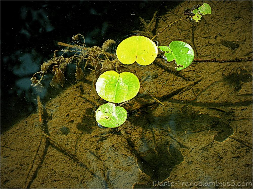 plante flottante