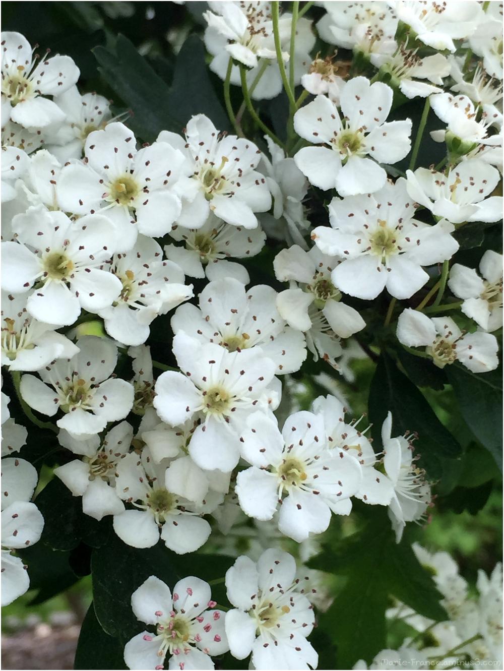 Fleurs d'arbuste