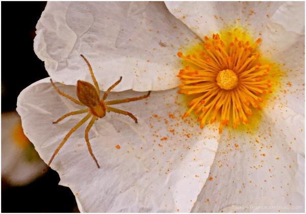 petite araignée sur une fleur