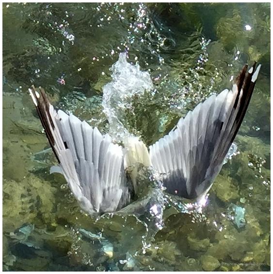 Goéland en plongée