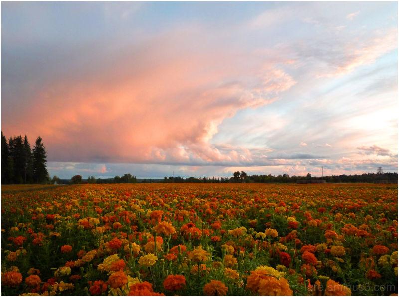 flowering french marigold