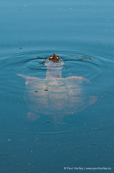 snapping turtle underwater with nose out for air