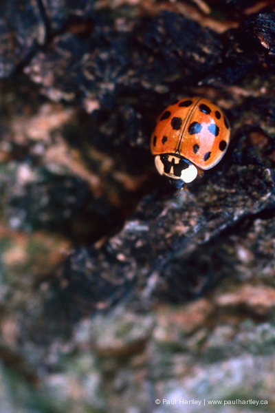 orange ladybug on bark