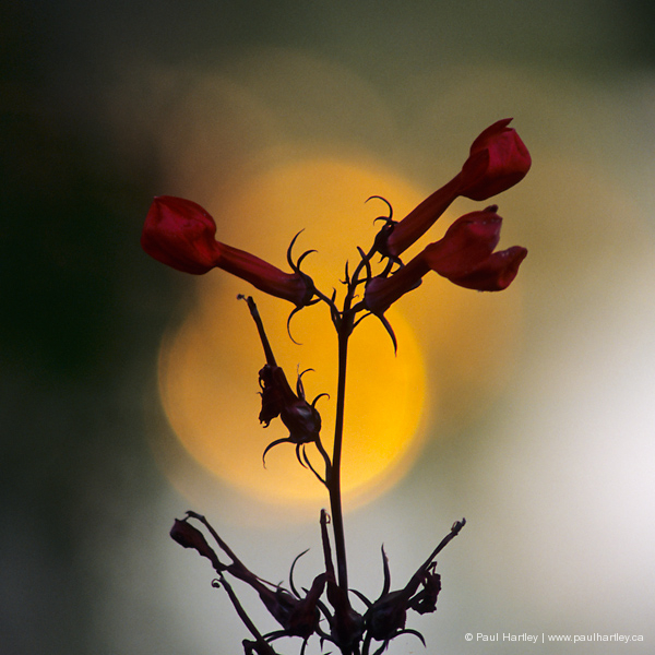 backlit cardinal flower buds