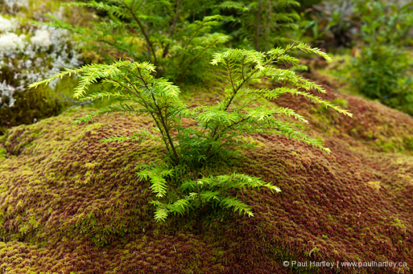 small evergreen tree on moss