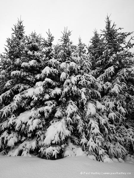 Snow covered spruce trees