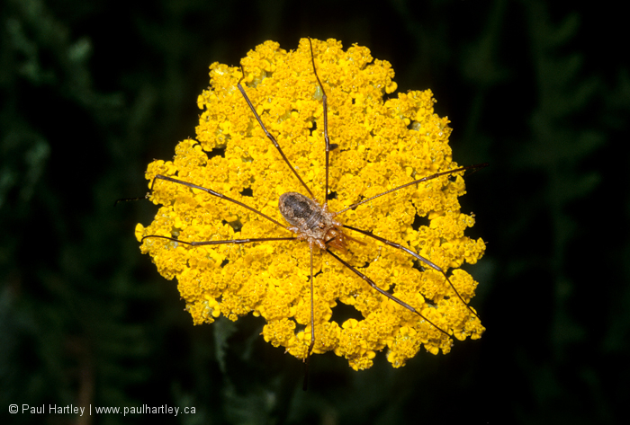 daddy long leg on yellow flower