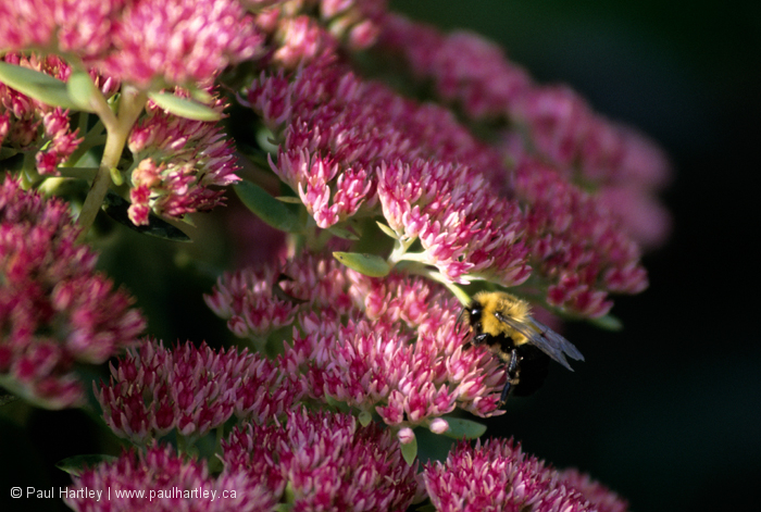 Bumble bee on sedum