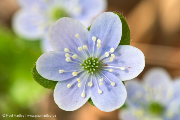 close up of round-lobed hepatica