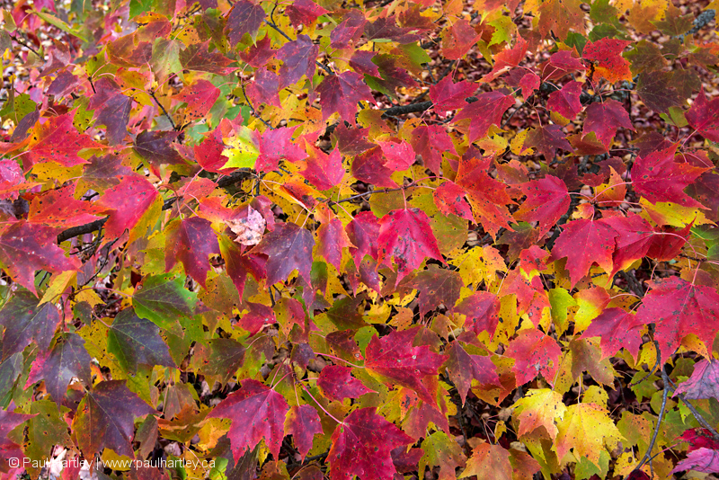 maple leaves in fall colours