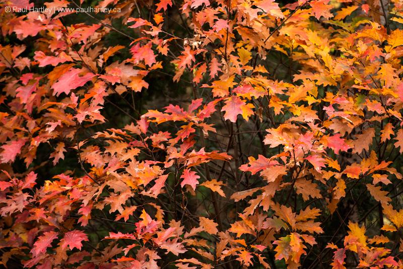 Oak Tree in Autumn Colour