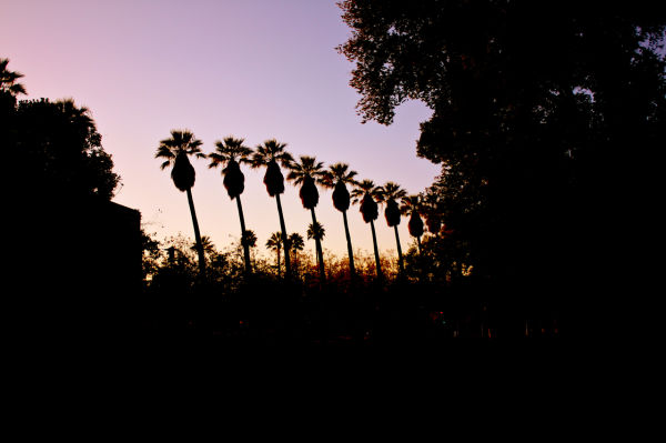Palm tree silhouettes at sunset in San Jose, Calif