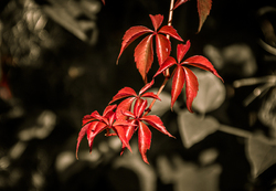 ...red leaves...