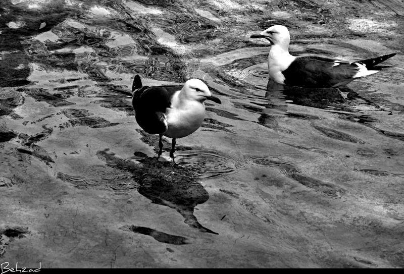 Lover Birds پرندگان عاشق