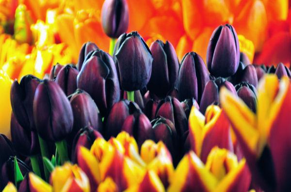 Tulip noir.