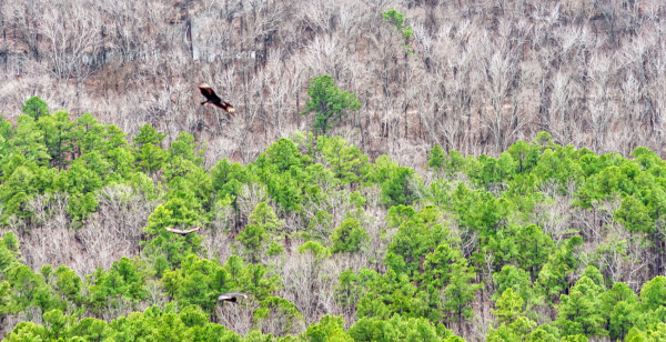 Black vultures from Pinnacle Mountain