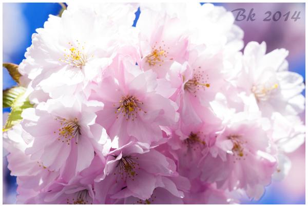 Cherry blossoms in Hammarby Sjöstad