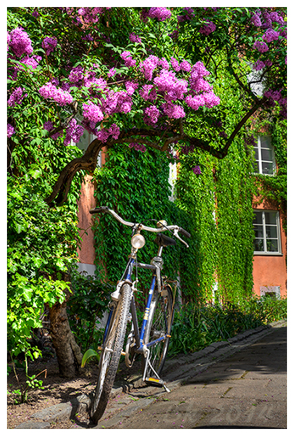 A bike standing below a siren tree in full bloom