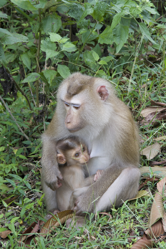 Monos al costat de la carretera, Tailàndia