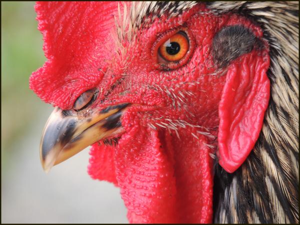 El secreto del gallo: a quien escucha? lo sabes?