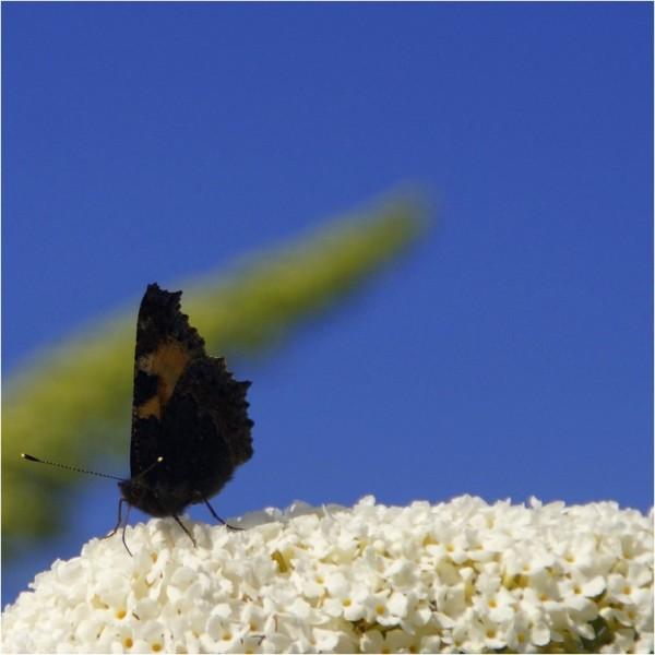 Papillonage...
