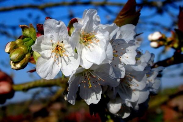 Dans le cerisier...